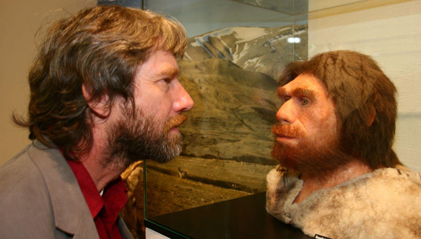 Wśród naszych matek były neandertalskie kobiety, które zostawiły w nas od 1 do 4 procent swojego DNA. Neandertalczykom zawdzięczamy m.in.: białą skórę, niebieskie oczy i rude włosy, Na zdjęciu: otwarcie nowego niemieckiego muzeum jaskiń w Iserlohn. Odwiedzający wystawę ogląda rekonstrukcję Homo neanderthalensis. Fot. Markus Matzel/Ullstein Bild via Getty Images