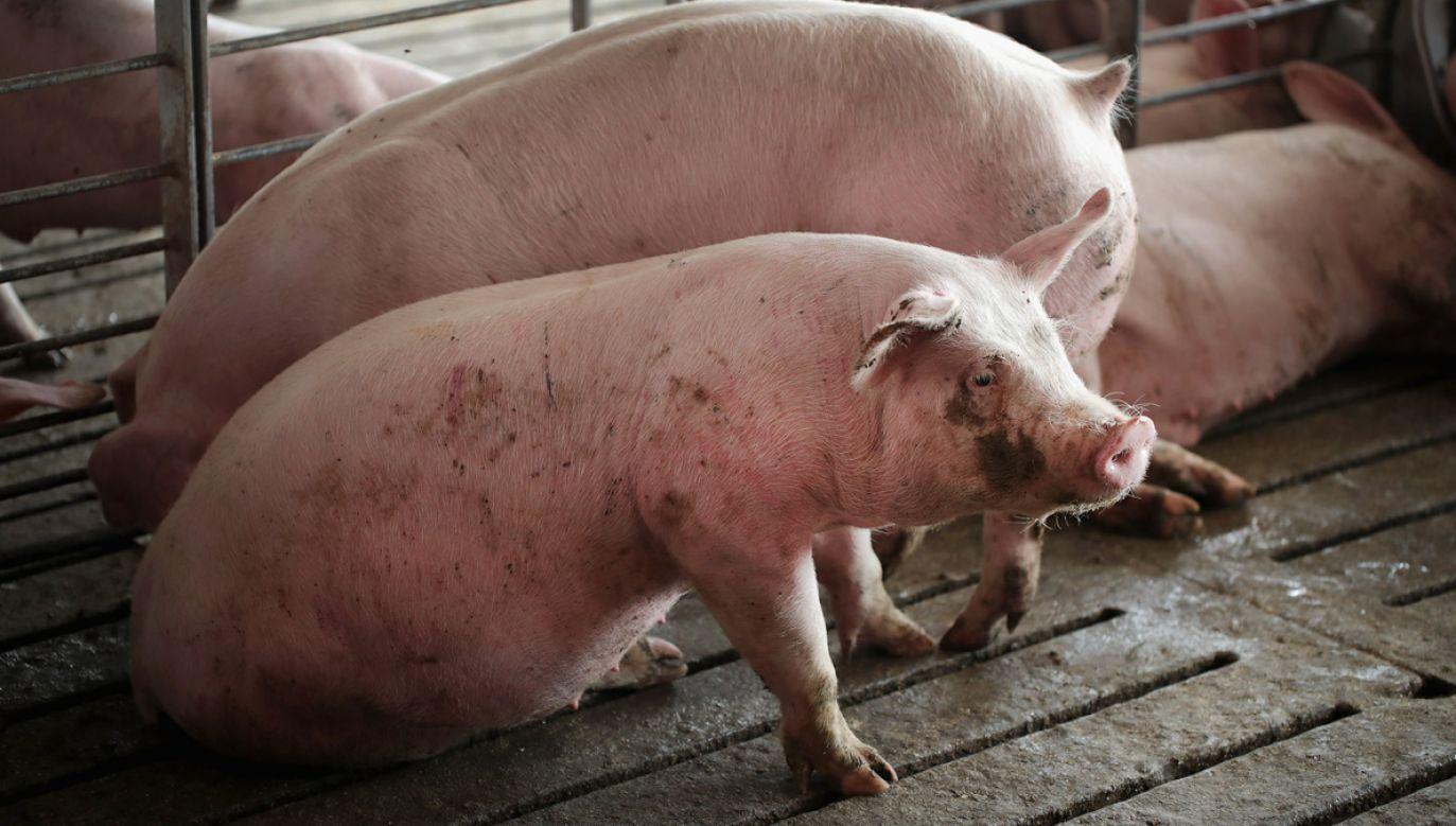 Grupa wegan przekazała mediom makabryczną relację z brytyjskiej farmy świń (fot. Scott Olson/Getty Images)