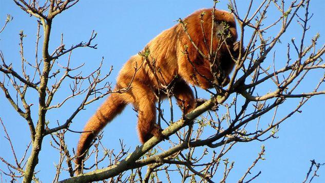 Zwierzę zostało uśpione i przetransportowane z powrotem do zoo (fot. Wiki/Miguelrangeljr)