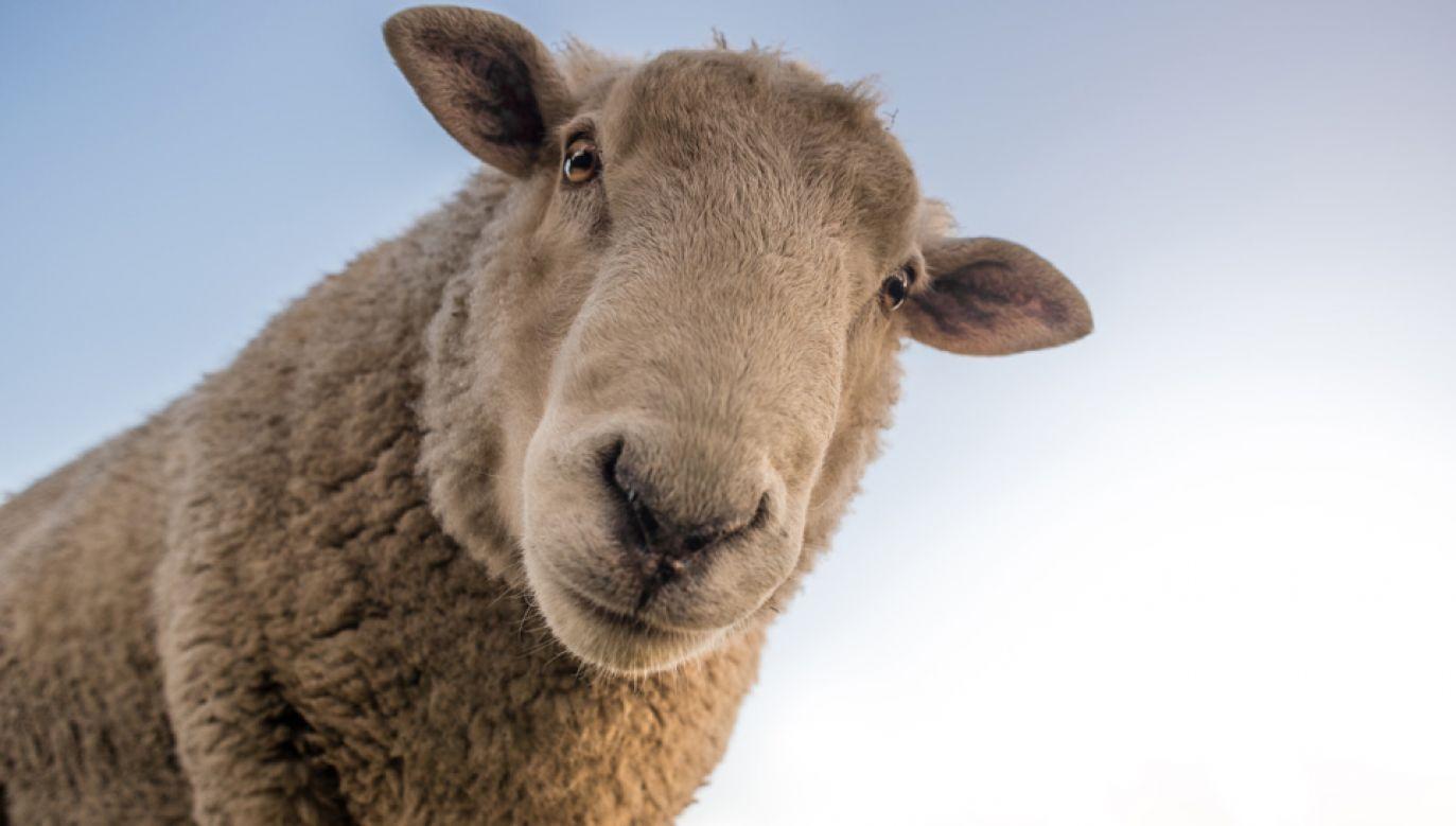 Owce mają się paść w parkach i tym samym kosić trawę (fot. Pexels)