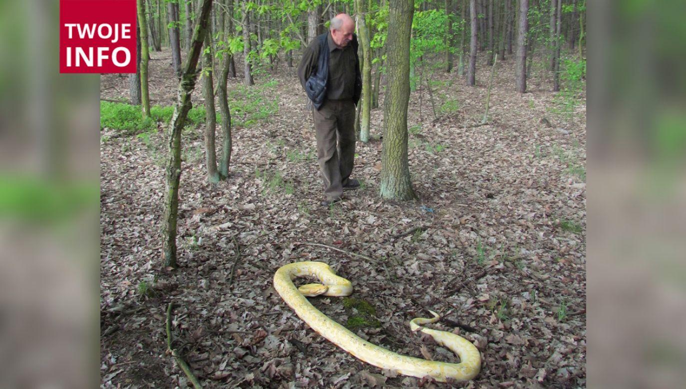 Wiesław Nurkiewicz wraz ze znalezionym pod Wołominem wężem (fot. Twoje Info/Wiesław Nurkiewicz)
