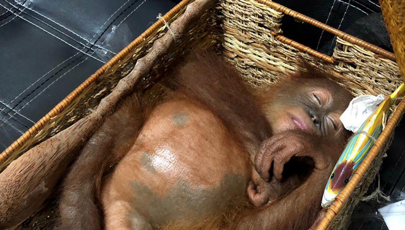 Orangutan został odurzony i ukryty w bagażu (fot. EPA/DENPASAR QUARANTINE AGENCY)