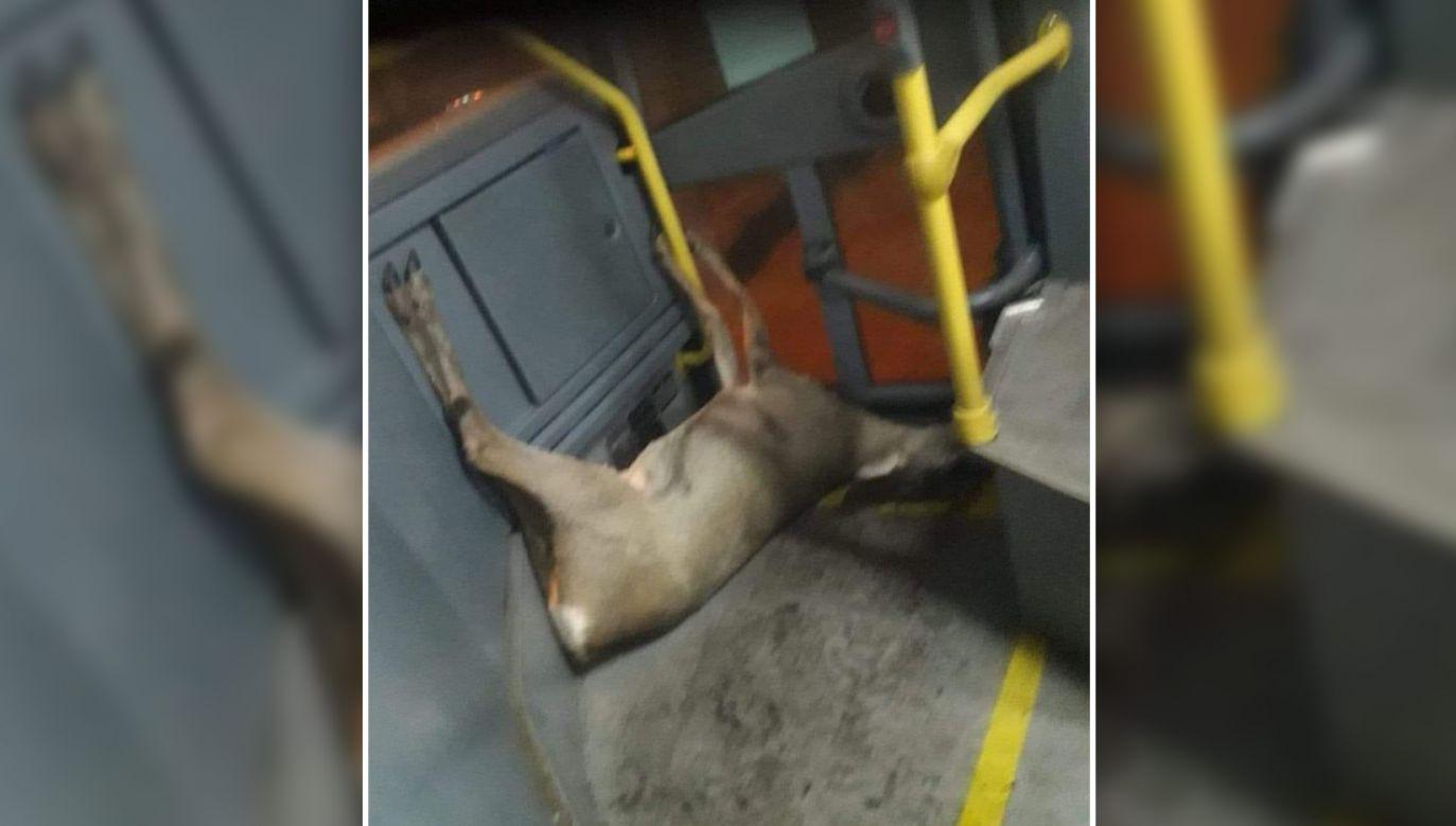 Pasażer zrobił zdjęcie martwej sarnie (fot. FB/Towarzystwo Opieki nad Zwierzętami - Oddział Bytom)