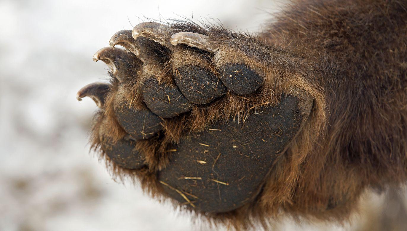 Łapa niedźwiedzia mogła stanowić rodzaj daru dla zmarłych (fot. Bborriss.67/Shutterstock)