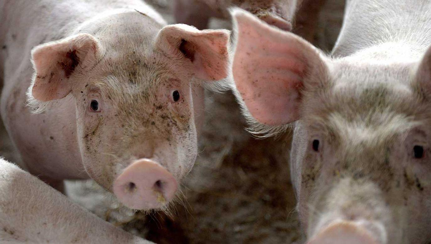 Gospodarstwo, w którym stwierdzono ognisko wirusa ASF, liczyło ponad 1700 świń (fot. arch. PAP/Darek Delmanowicz)