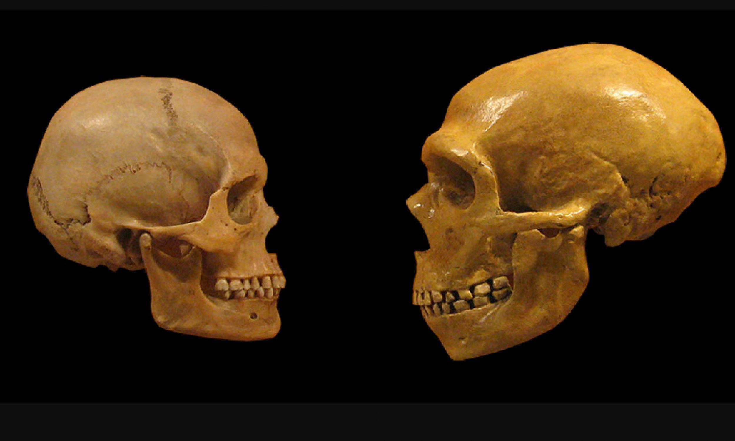 Porównanie czaszek współczesnego człowieka (z lewej) i neandertalczyka, Muzeum Historii Naturalnej w Cleveland, listopad 2008 r. Fot. Wikimedia/Hairymuseummatt (praca oryginalna), DrMikeBaxter (pochodna – czaszki umieszczone na czarnym tle i z usuniętymi adnotacjami) - CC BY-SA 2.0