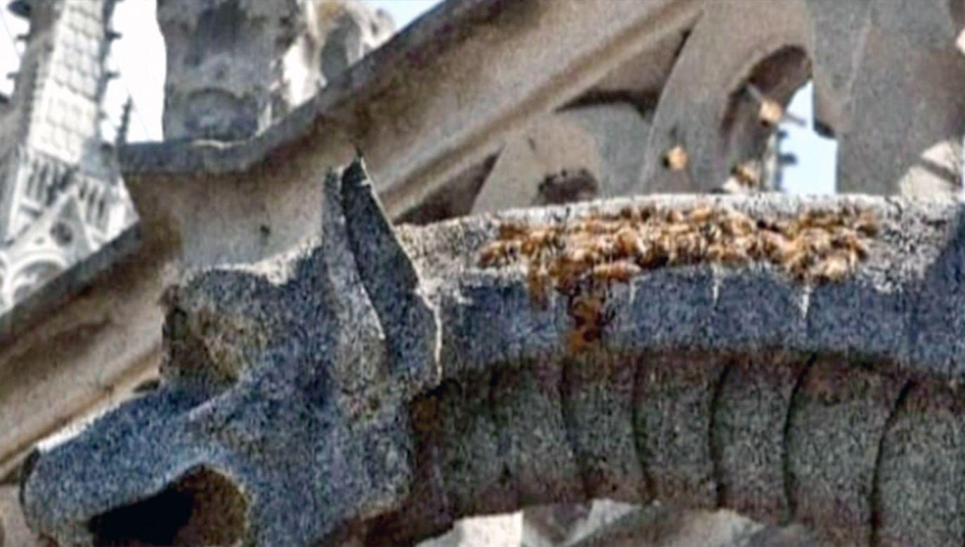 Pszczoły z Notre Dame przetrwały pożar (fot. TVP za instagram.com/beeopic)