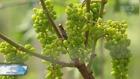 Stolica polskiego winiarstwa