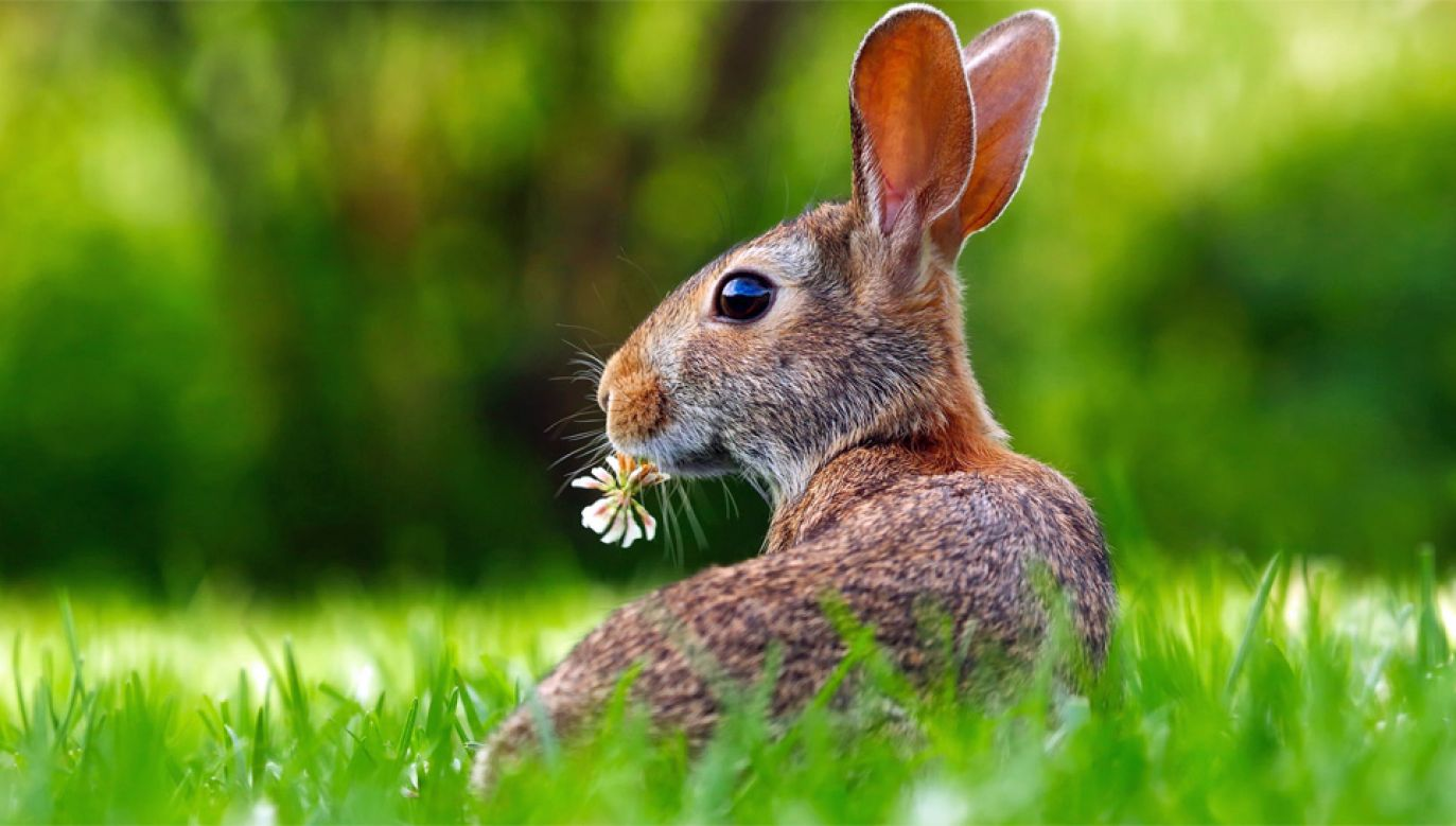 Okazało się, że króliki mogą faworyzować gatunki roślin o dużych genomach, ponieważ są one bardziej pożywne (fot. Pexels)