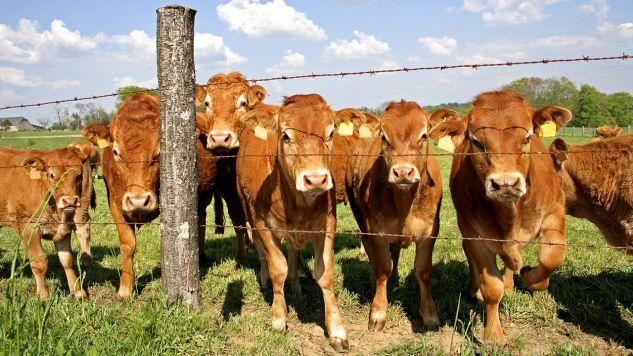 BSE wykryto u martwej krowy z farmy w hrabstwie Aberdeenshire (fot. Shutterstock/paul prescott, zdjęcie ilustracyjne)