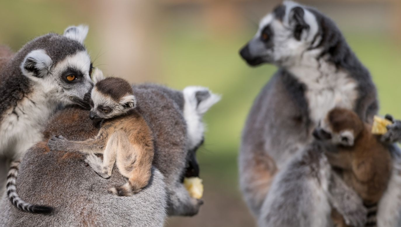 The lemurs at the Wrocław zoo. Photo: PAP/Maciej Kulczyński