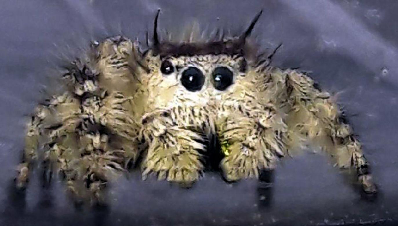 Jadowity pająk został schwytany przez Ekopatrol (fot. Straż miejska)