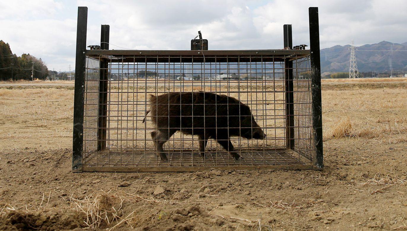 """""""Przedostanie się ASF do Francji byłoby prawdziwą katastrofą zarówno dla hodowców trzody, jak i dla myśliwych"""" (fot. REUTERS/Toru Hanai)"""
