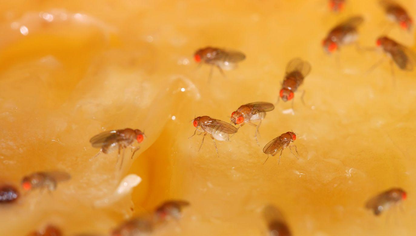 Muszka owocówka służy naukowcom do badań już od stulecia (fot. Shutterstock/somyot pattana)