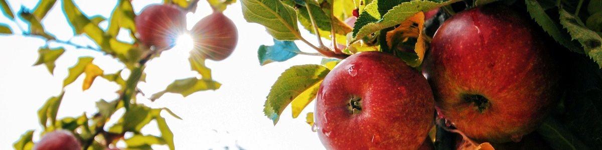 Jabłka na zdrowie