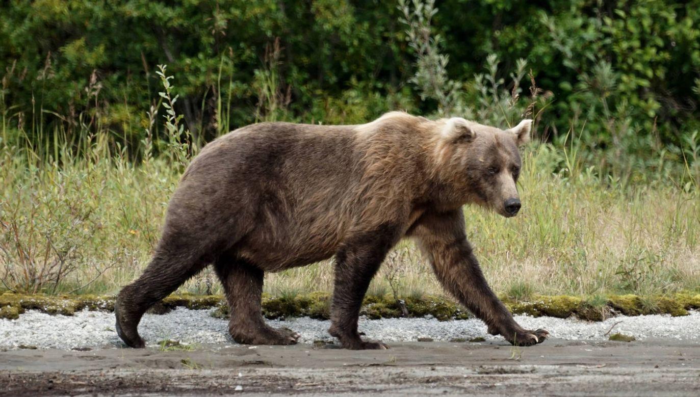 Niedźwiedzie brunatne sa pod ochroną (fot. flickr.com/Mike's Birds)