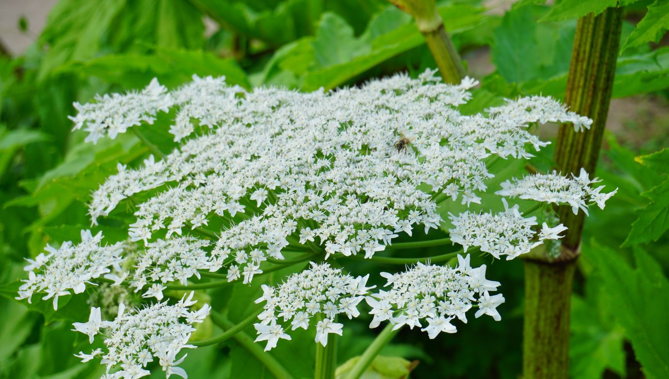 A seemingly harmless weed, known as Sosnowski's hogweed, that looks like an overgrown dill plant can be seen in Poland's Warmian-Masurian province. Photo: shutterstock.com/Mariola Anna S