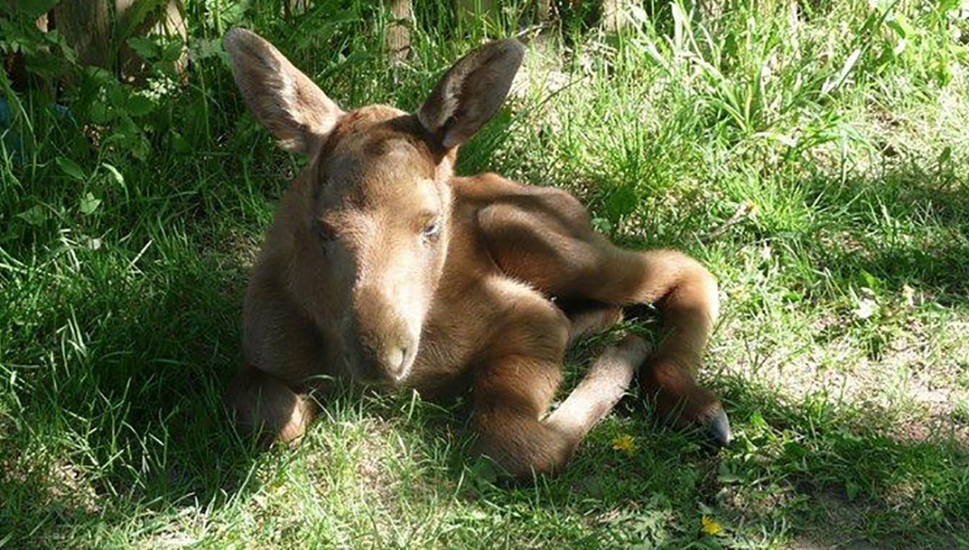 Młody jeleń w trawie (fot. Nadleśnictwo Ostrołęka)