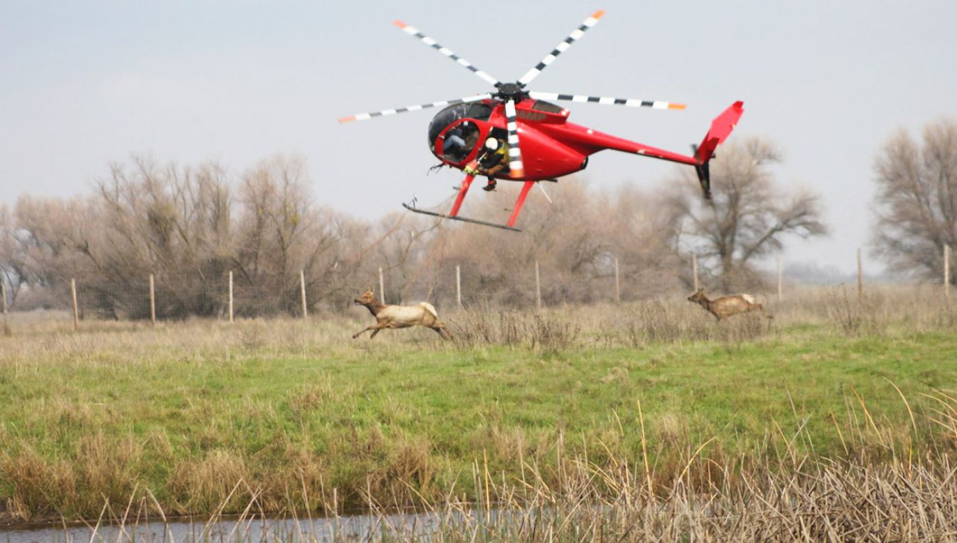 """Powodem niecodziennego transportu łosi było dostarczenie do innych stad """"genetycznej różnorodności"""" (fot. FB/California Department of Fish and Wildlife)"""