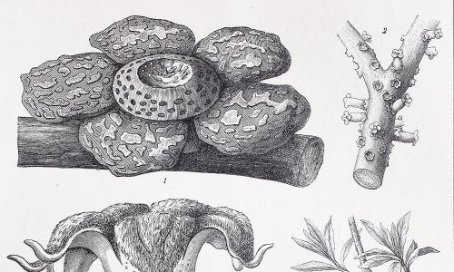 Historyczne obrazy egzotycznych kwiatów: Rafflesia, Apodanthes, Brugmansia, Cytinus, Asarum europaeum, Aristolochia clematitis. Reprodukcja oryginalnego druku z XIX wieku, poprawiona cyfrowa. Fot. Bildagentur-online / UIG via Getty Images