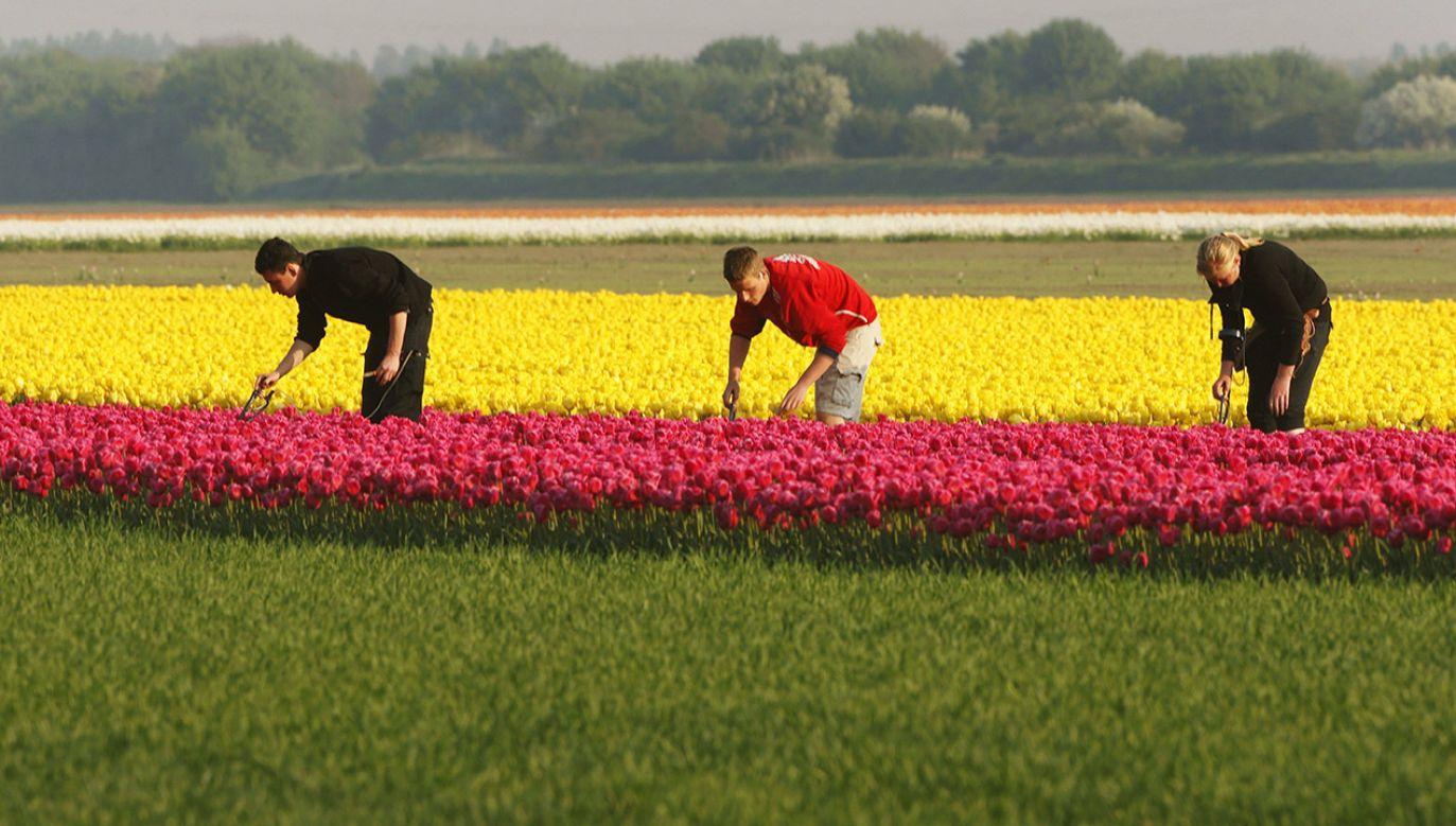 Do Biura RPO wpływają cały czas skargi obywateli RP pracujących w Holandii (fot. arch.PAP/DPA)