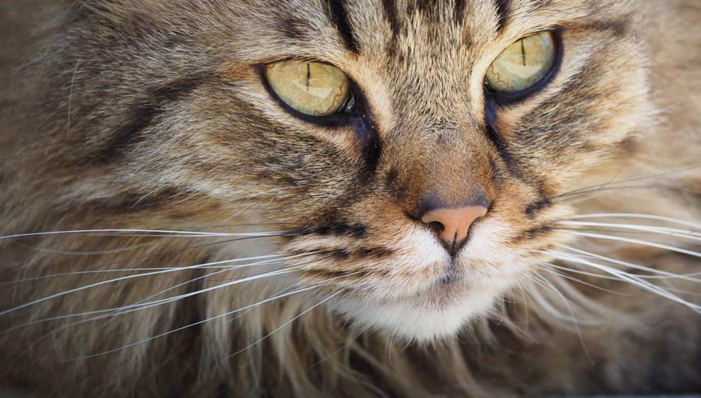 Już wcześniej odkryto, że koty potrafią rozpoznawać głosy (fot. Pixabay/JakeWilliamHeckey)