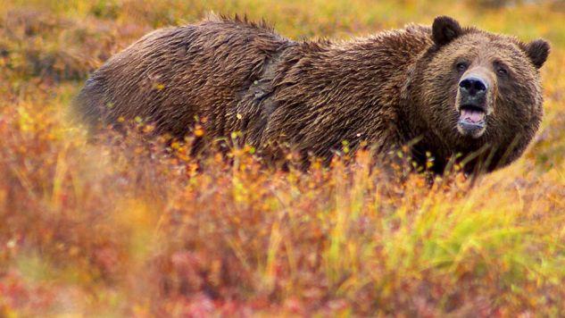 Niedźwiedzie grizli to jeden z symboli Ameryki Północnej (fot. Wiki)