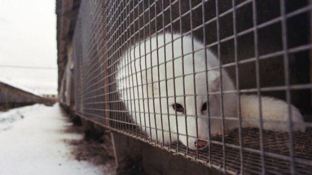 W Unii Europejskiej ponad 40 milionów zwierząt rocznie jest zabijanych na futra  (fot. Oleg Nikishin / Stringer)