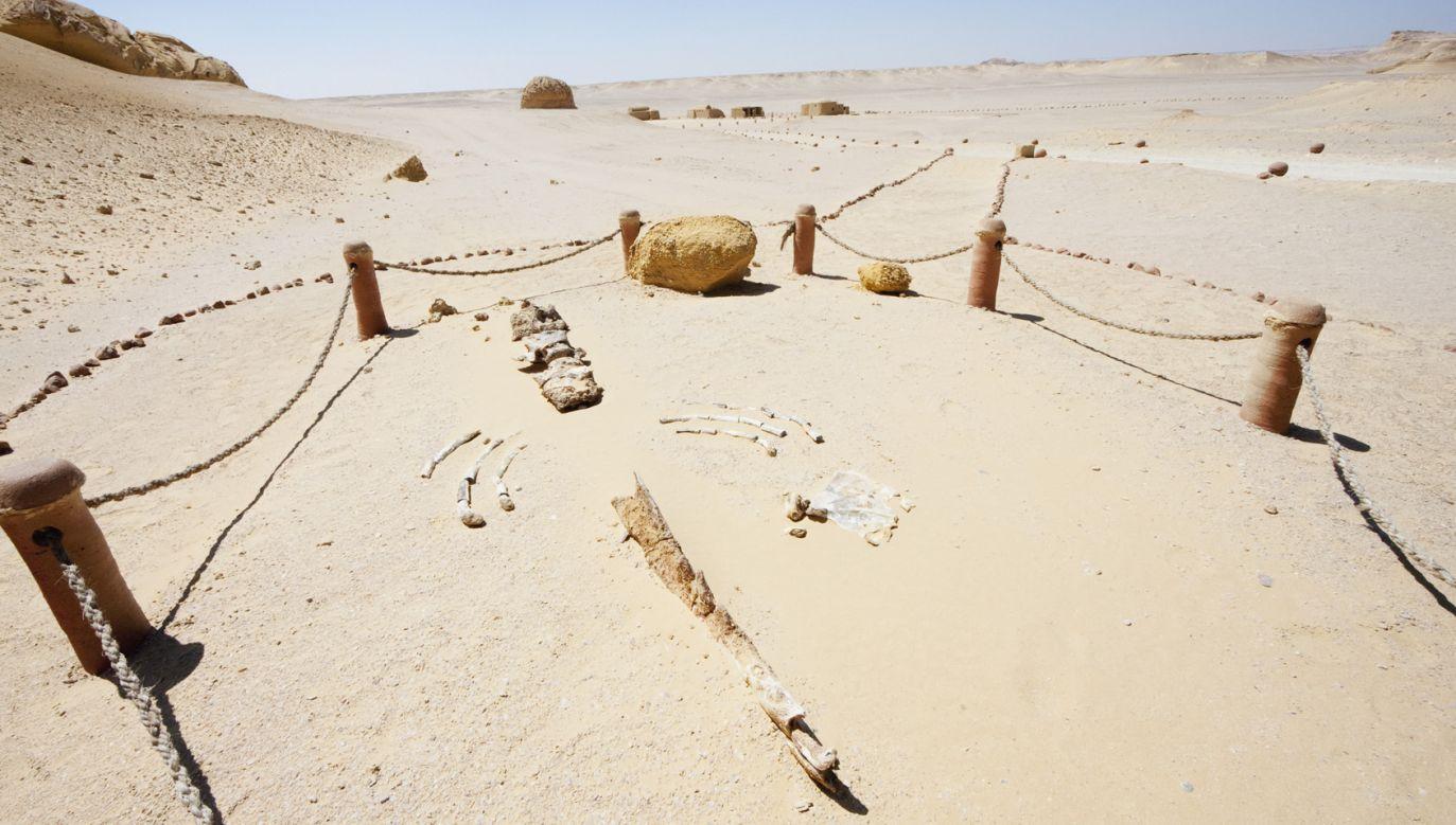 Szczątki 15-metrowego osobnika odnaleziono w 2010 r. w Dolinie Wielorybów w Egipcie (fot. Insights/UIG via Getty Images)