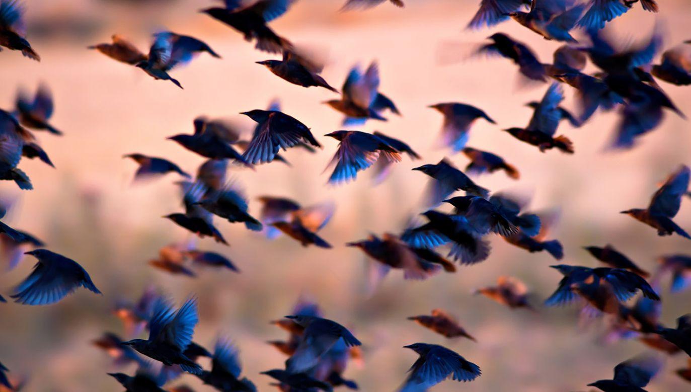 Problem szczególnie się  nasila się w porze migracji ptaków (fot. Shutterstock/serkan mutan)