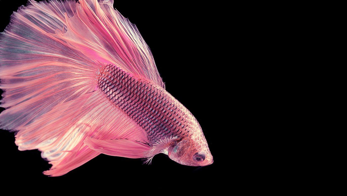 """Zaobserwowane ryby nie pasują wyglądem do stereotypu """"potwora z morskich głębin"""" (fot. Shutterstock/Chalalai Atcha)"""