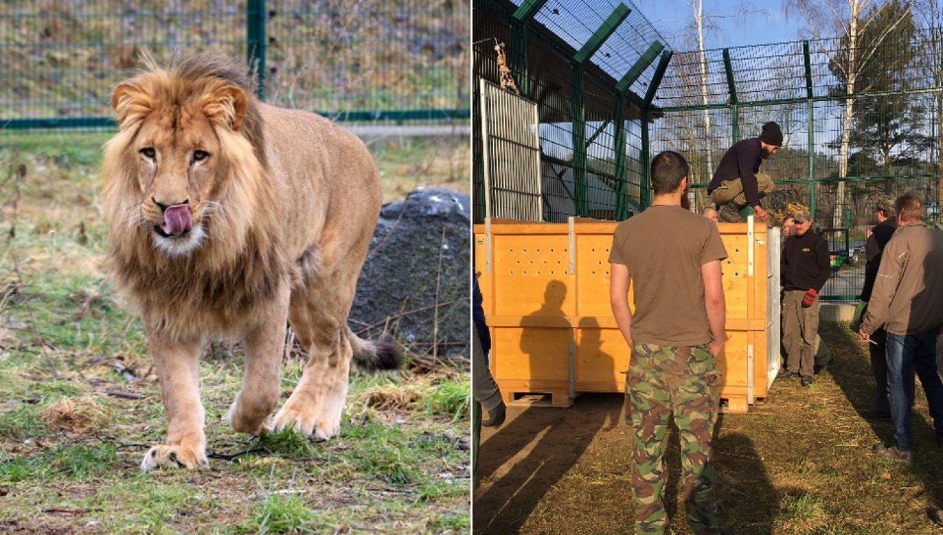 Podczas 40-godzinnej podróży do Francji w wygodnej skrzyni Aion będzie miał cały czas dostęp do powietrza, wody i mięsa (fot. zoo.gda.pl)