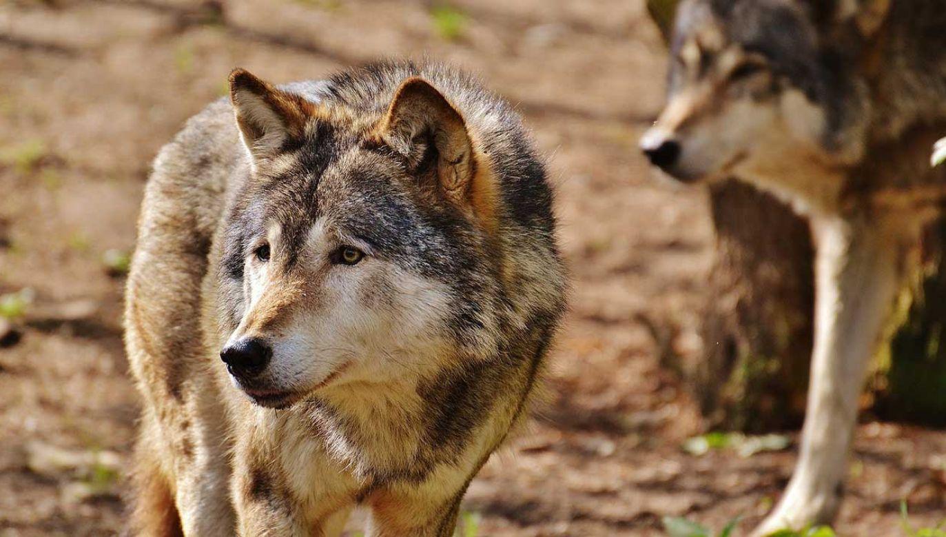 Przez coraz większą liczbę wilków już zagrożona jest populacja jelenia (fot. Pixabay/Alexas_Fotos)