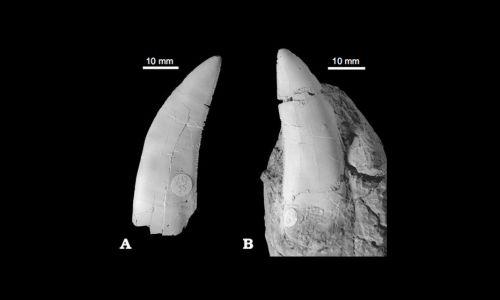 Pojedyncze zęby ze skamieniałości Smoka wawelskiego. Fot. Wikimedia Commons/ Grzegorz Niedźwiedzki, Tomasz Sulej, and Jerzy Dzik - http://www.app.pan.pl/article/item/app20100045.html