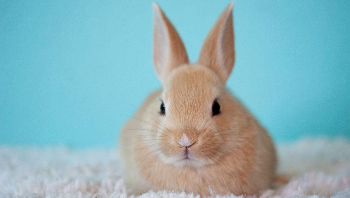 W Kanadzie co roku po świętach wielkanocnych tysiące króliczków są wyrzucane (fot. pixabay/strengthinnumbers)