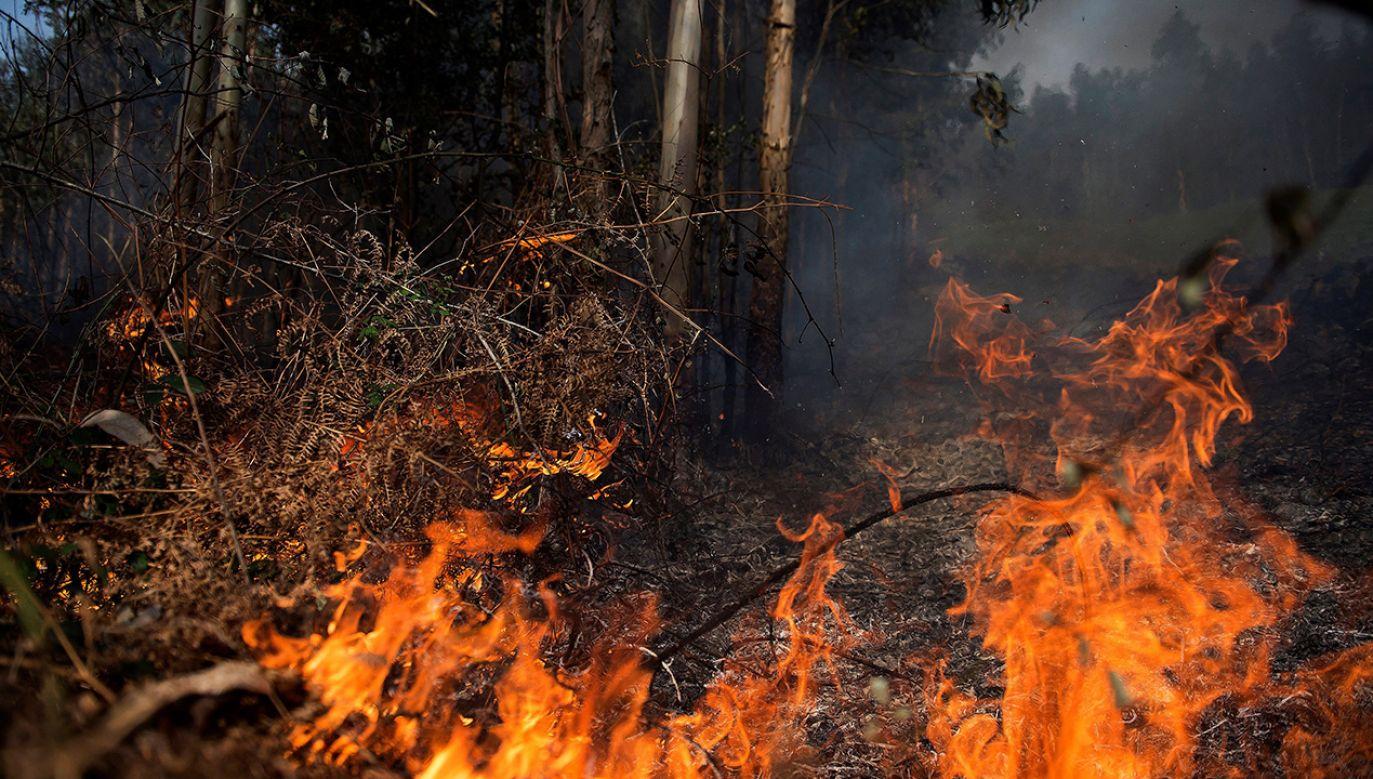 Zimowe pożary lasów to dzieło podpalaczy (fot. PAP/EPA/PEDRO PUENTE HOYOS)