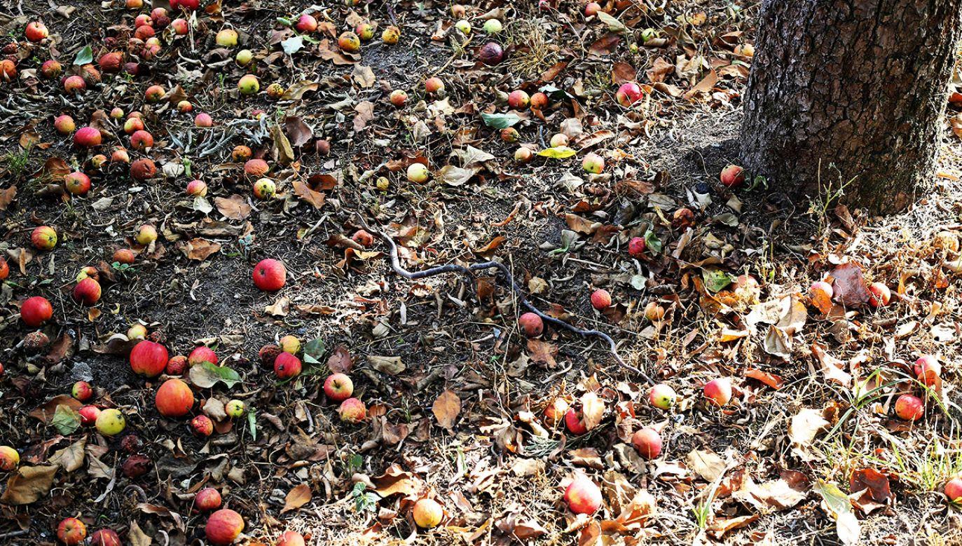 Jabłoń dotknięta tegoroczną suszą (fot. arch.PAP/Tomasz Wojtasik)