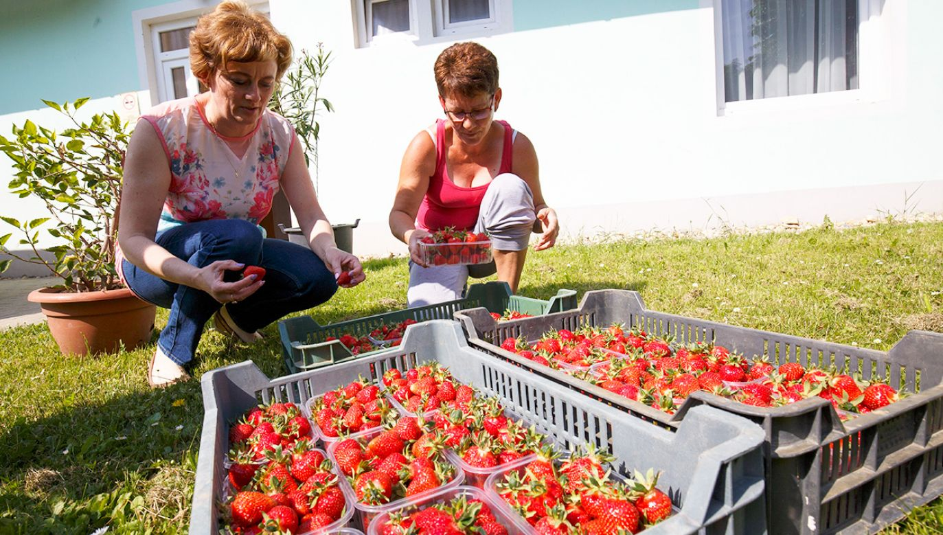 Zbiory truskawek mogą być w tym roku wyjątkowo małe (fot. PAP/EPA/GYORGY VARGA)