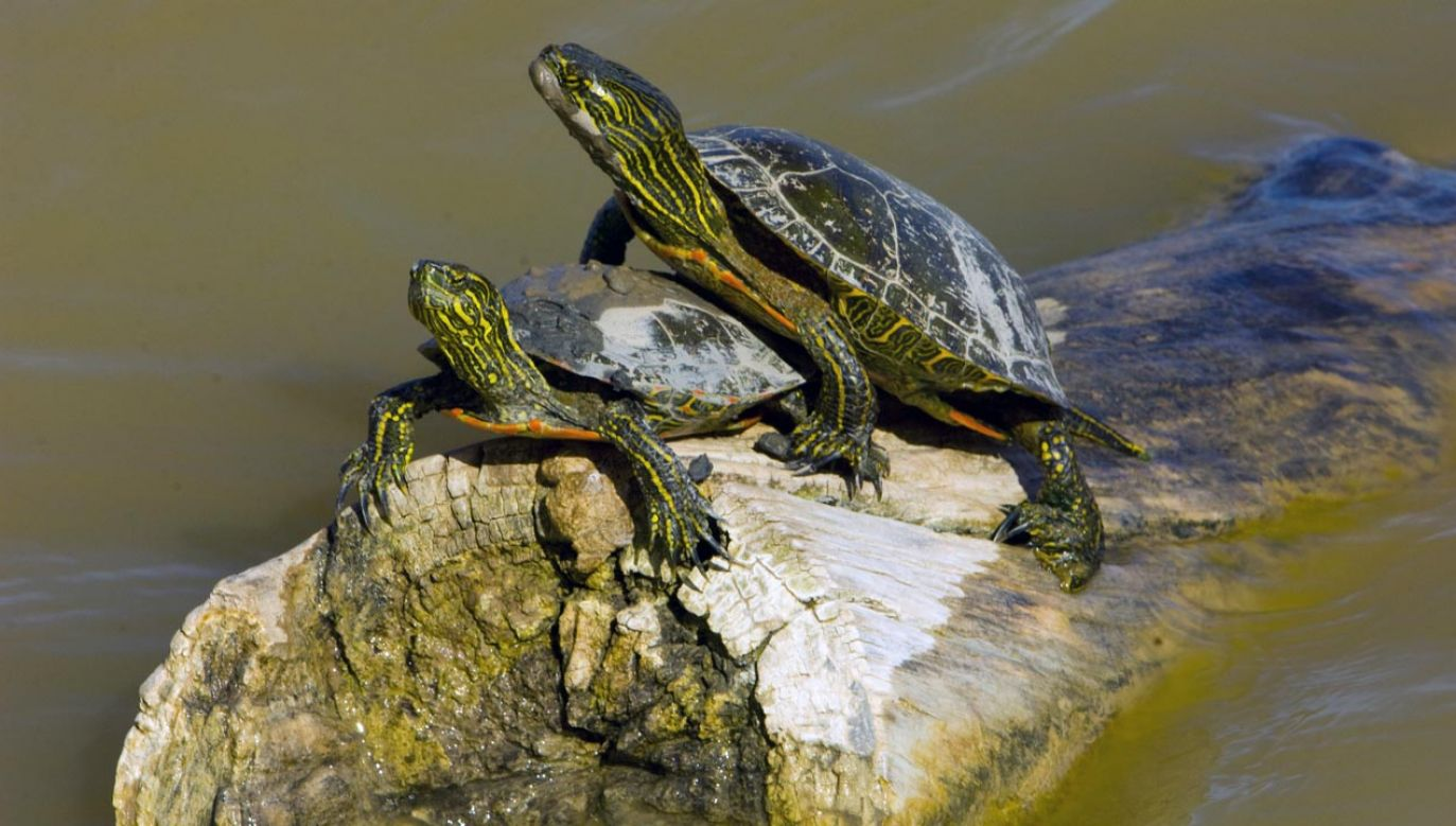Zagrożone są zwłaszcza żółwie malowane (fot. Education Images/UIG via Getty Images)