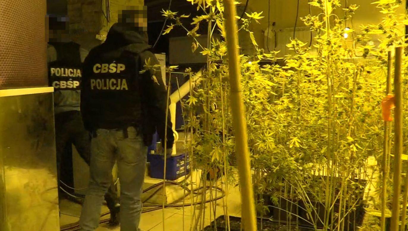 Plantacja należąca do członków gangu zlikwidowana przez policjantów (fot. CBŚP)