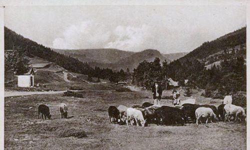 Przed II wojną światową czarne owce były powszechne na górskich łąkach we wschodnich Karpatach. Fot. pocztówka z archiwum stowarzyszenia Górale Karpat