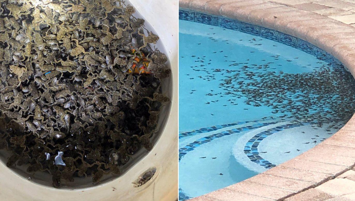 Na początku mieszkańcy nie wiedzieliśmy, czy to ropuchy, czy żaby (fot.TT/Terace Garnier)