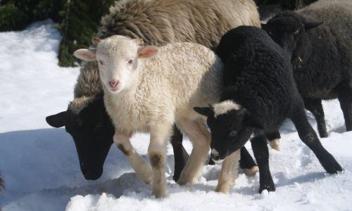 W tym roku w stajni z czarnej owcy urodzili się ciekawi bliźniacy: jeden baranek jest czarny, drugi biały. Czarny, mimo młodego wieku, jest agresywny. Natomiast biały baran jest łagodny i bardzo towarzyski. Nie lubi jeść ze żłobu, tylko z ręki – opowiada Monika Florek. Fot. archiwum stowarzyszenia Górale Karpat