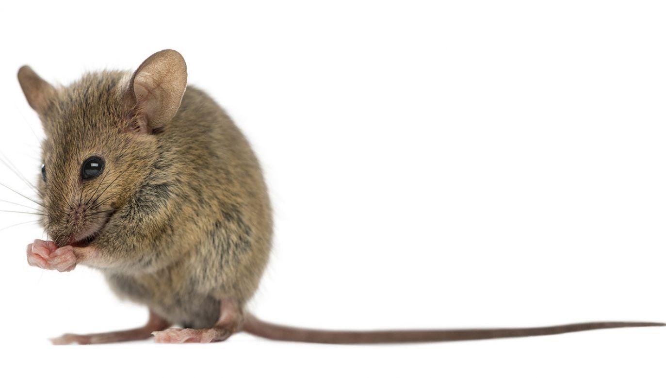 Myszy grasowały na półkach z pieczywem (fot. Shutterstock/Eric Isselee)