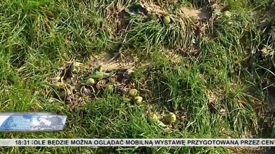 Liczą straty po ulewie. Część upraw truskawek nie do uratowania