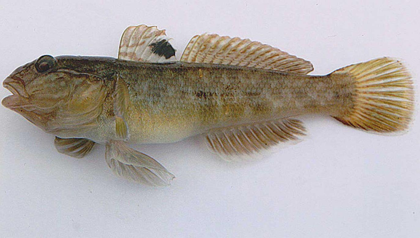 Babka bycza jest niewielką rybą drapieżną, żywiącą się głównie bezkręgowcami dennymi, ale też ikrą innych ryb (fot. pl.wikipedia.org)
