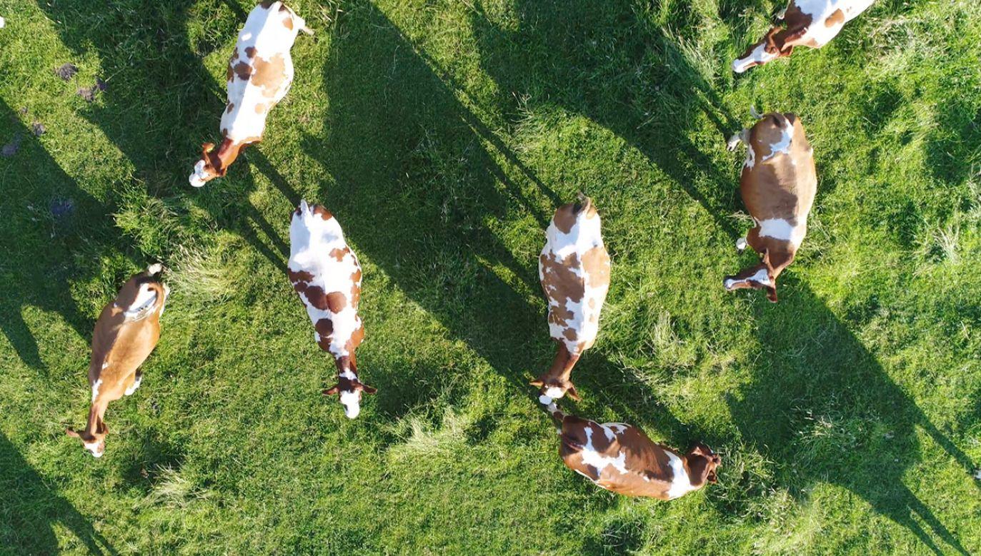 Chodzi o dzikie stado bydła liczące 170-180 sztuk, które od wielu lat żyje na wolności (fot. Shutterstock/GLF Media)