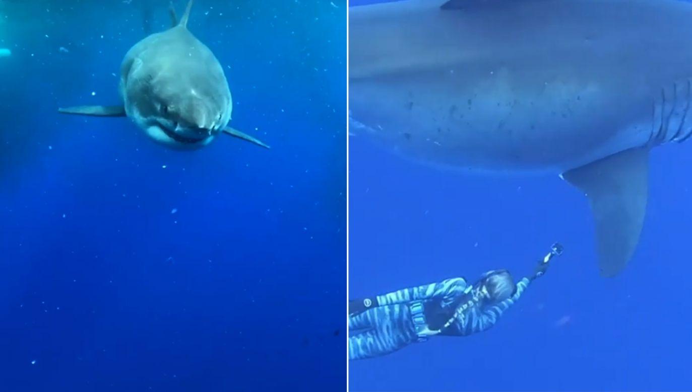 Rekin został zauważony, kiedy żywił się resztkami wielorybów u wybrzeży Hawajów (fot. Instagram/oceanramsey/cnn)