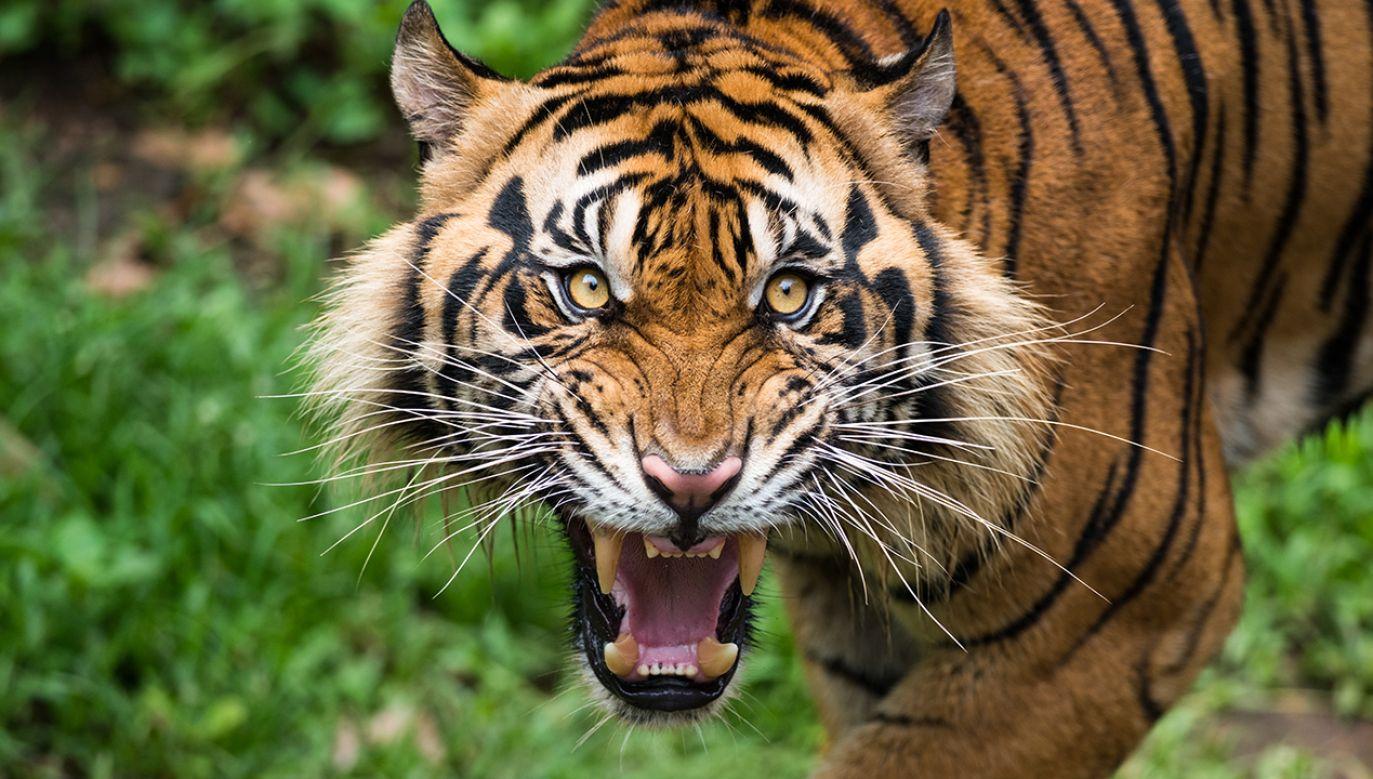 """Bartosz B. w maju ub. roku wdarł się na teren obok wybiegu i znęcał się nad tygrysem syberyjskim poprzez """"kłucie, odganianie go kijem"""" (fot. Shutterstock/dptro)"""