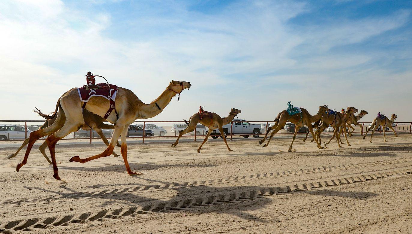 Wyścigi wielbłądów są tradycją sięgającą VII wieku (fot. arch. PAP/EPA/NOUFAL IBRAHIM)